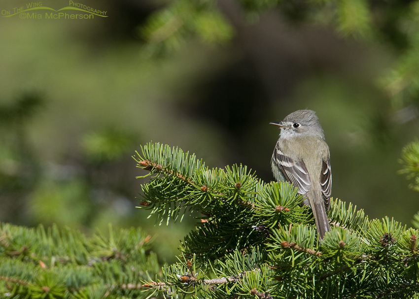 Least Flycatcher in Idaho