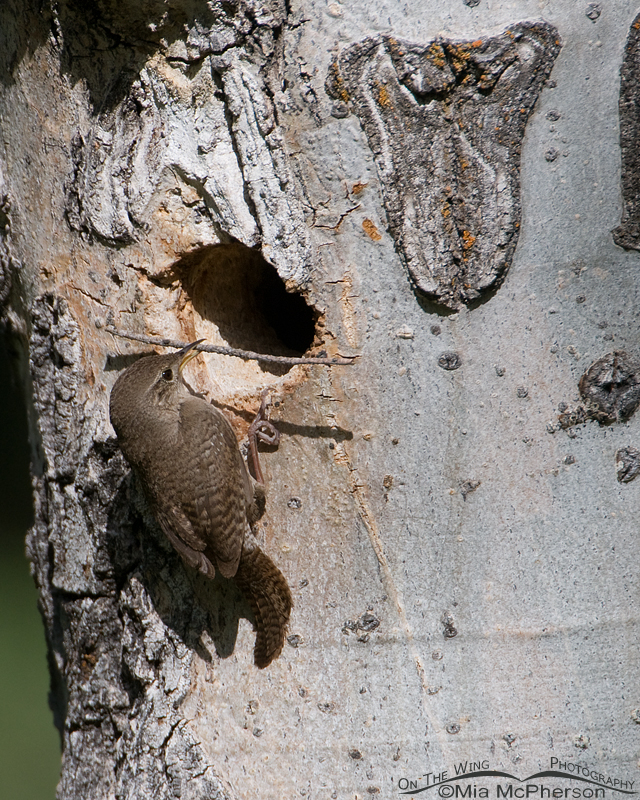 House Wren at the cavity with nesting material