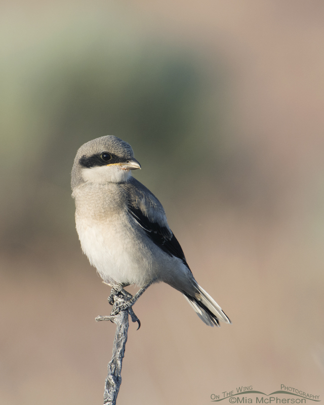 Juvenile Loggerhead Shrike perched by itself