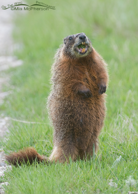 A toothy-grin from a Marmot
