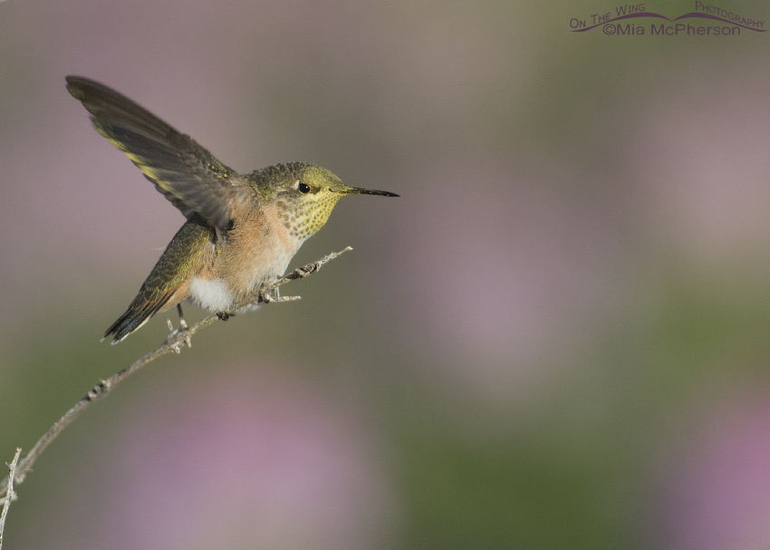 Calliope Hummingbird about to fly