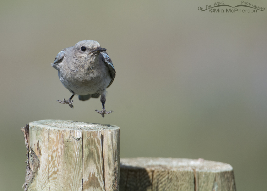 Leaping female Mountain Bluebird