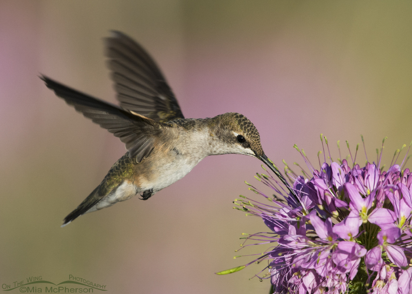 Hovering female Black-chinned Hummingbird