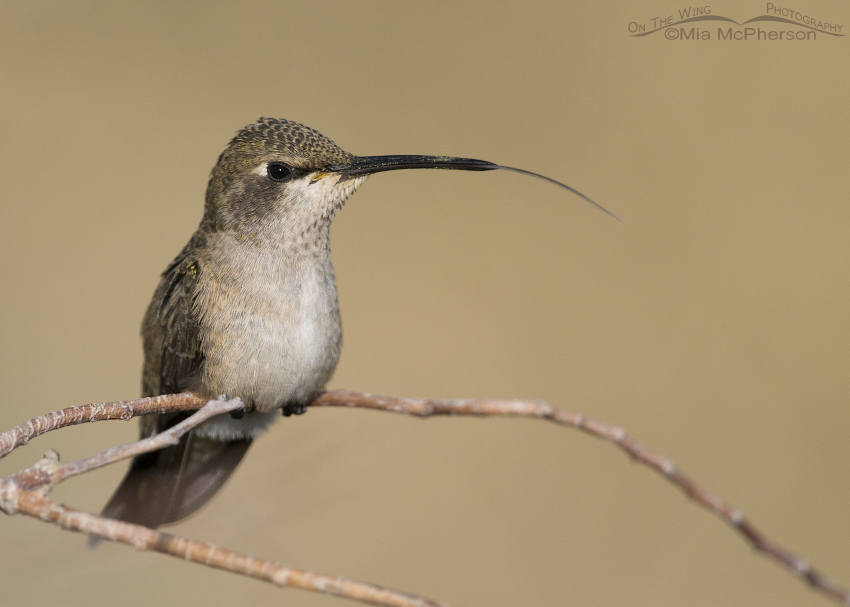 Black-chinned Hummingbird with its tongue showing