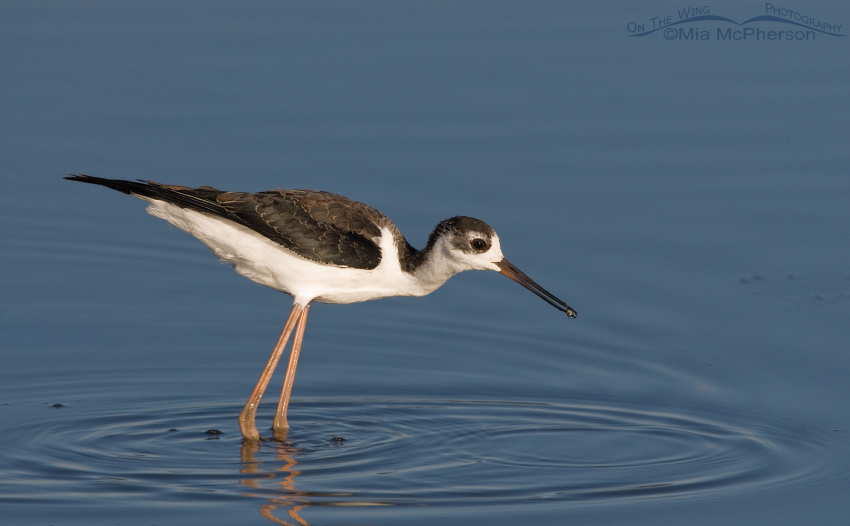 Juvenile Black-necked Stilt with prey