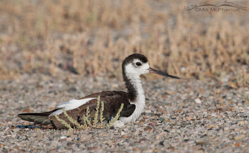 Resting juvenile Black-necked Stilt