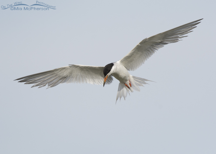 Hovering Forster's Tern