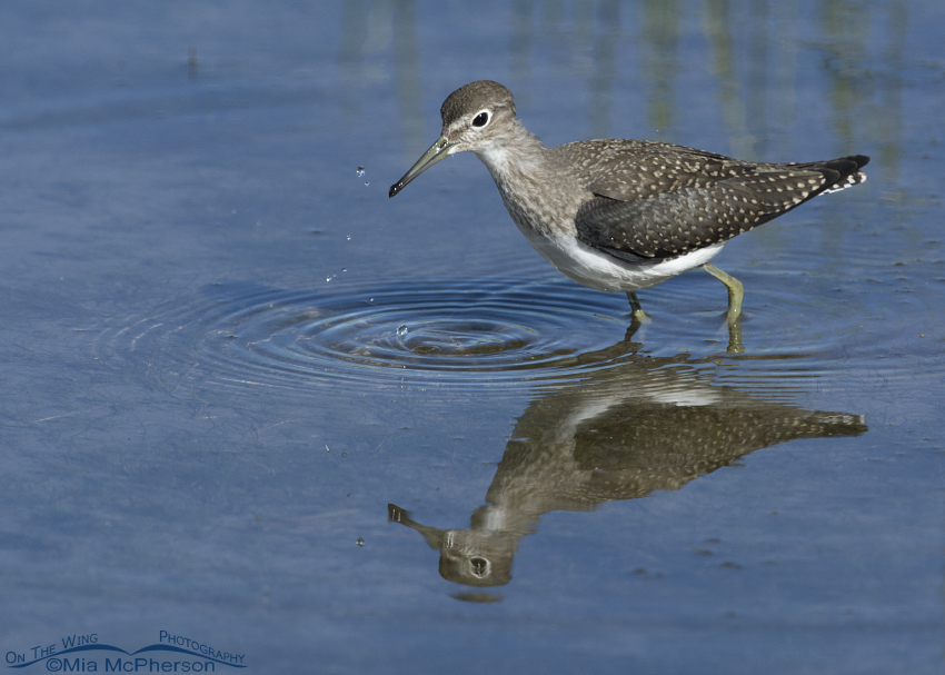 Foraging Solitary Sandpiper