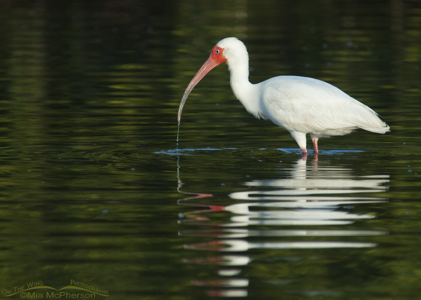 White Ibis with green mangrove reflections