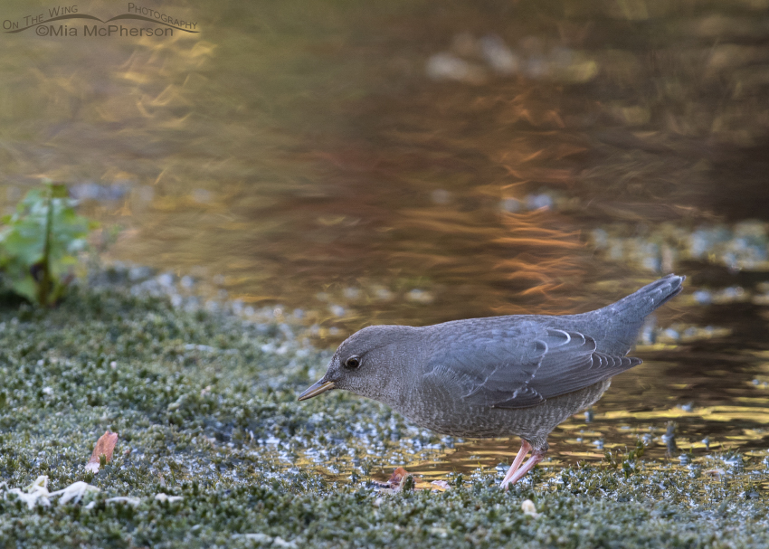 American Dipper juvenile looking for prey