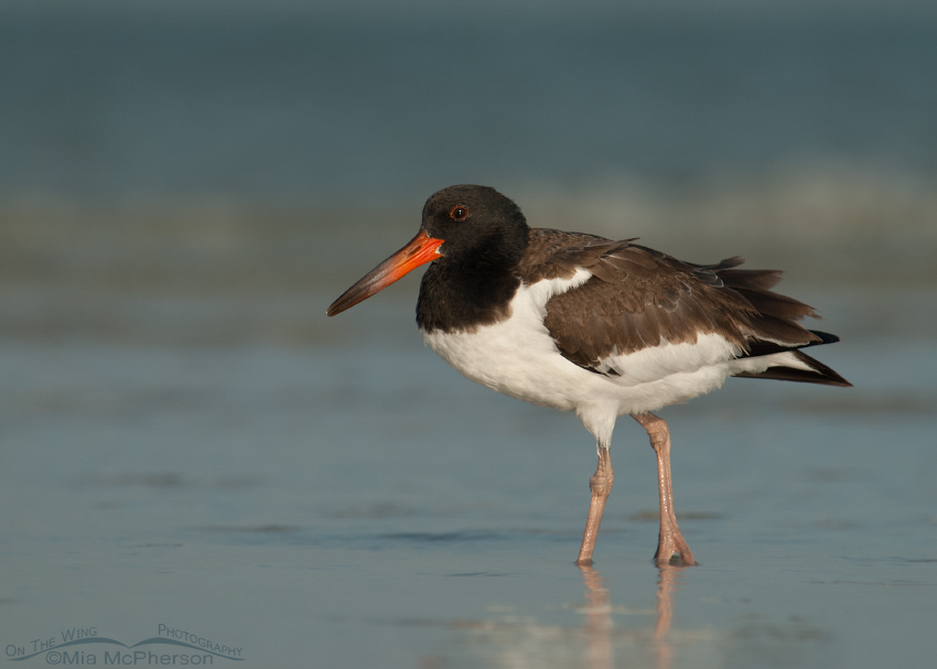 Juvenile American Oystercatcher in stormy light