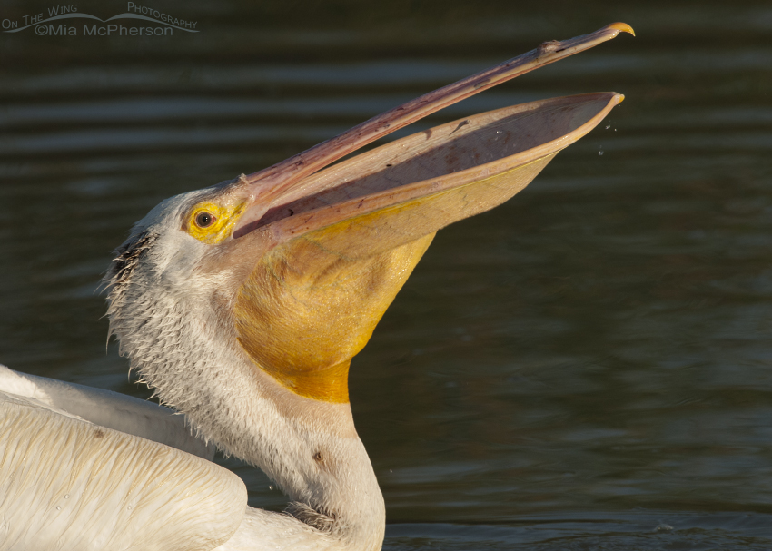 Portrait of an American White Pelican