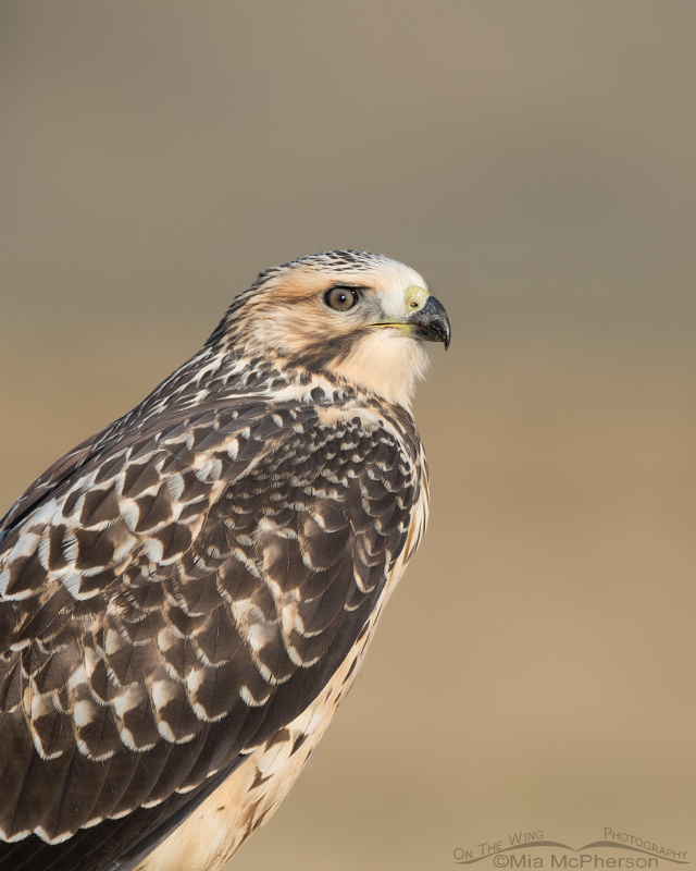 Portrait of a Swainson's Hawk light morph juvenile