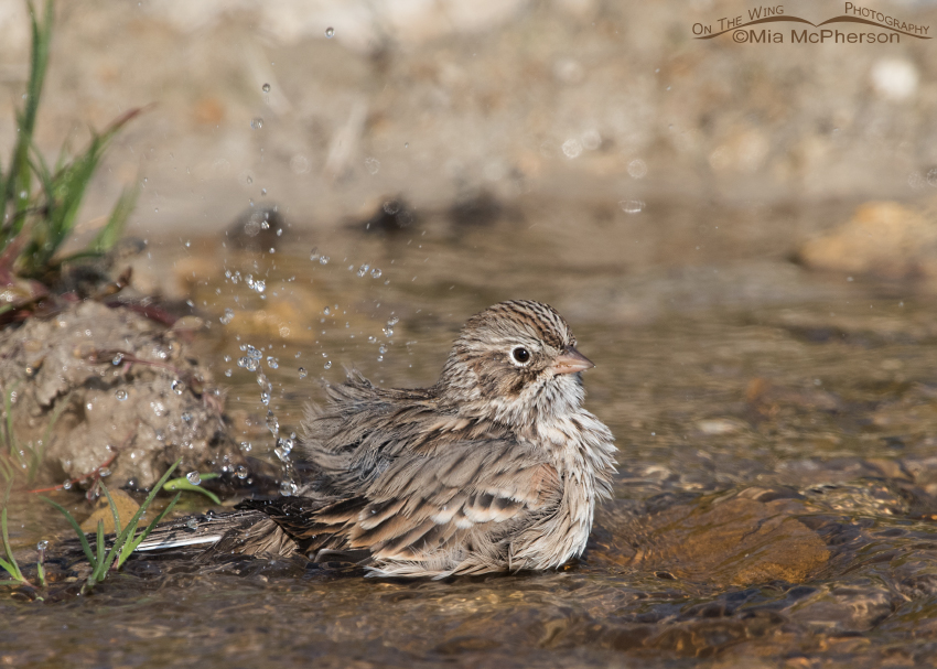 Bathing Vesper Sparrow