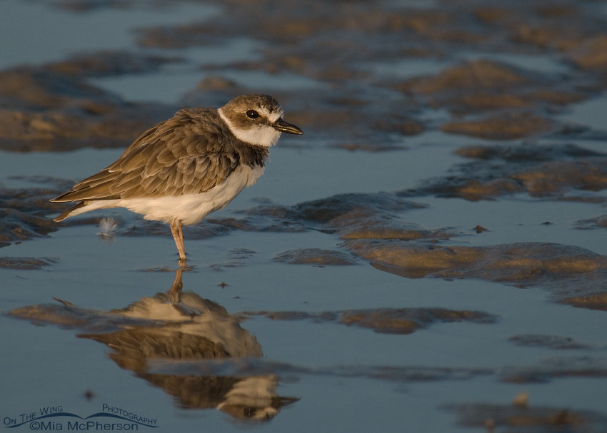 Wilson's Plover at sunrise