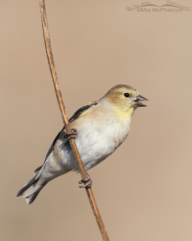American Goldfinch Images