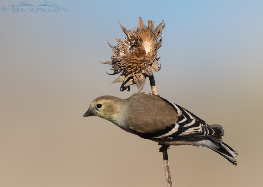 Male American Goldfinch perched on a Sunflower