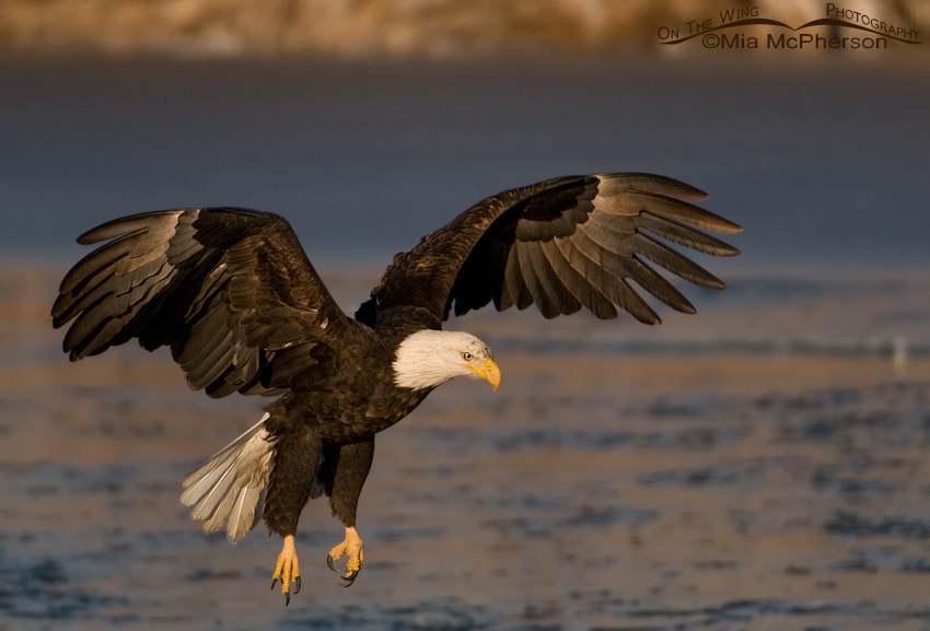 Bald Eagle landing on Bear River Christmas day 2012