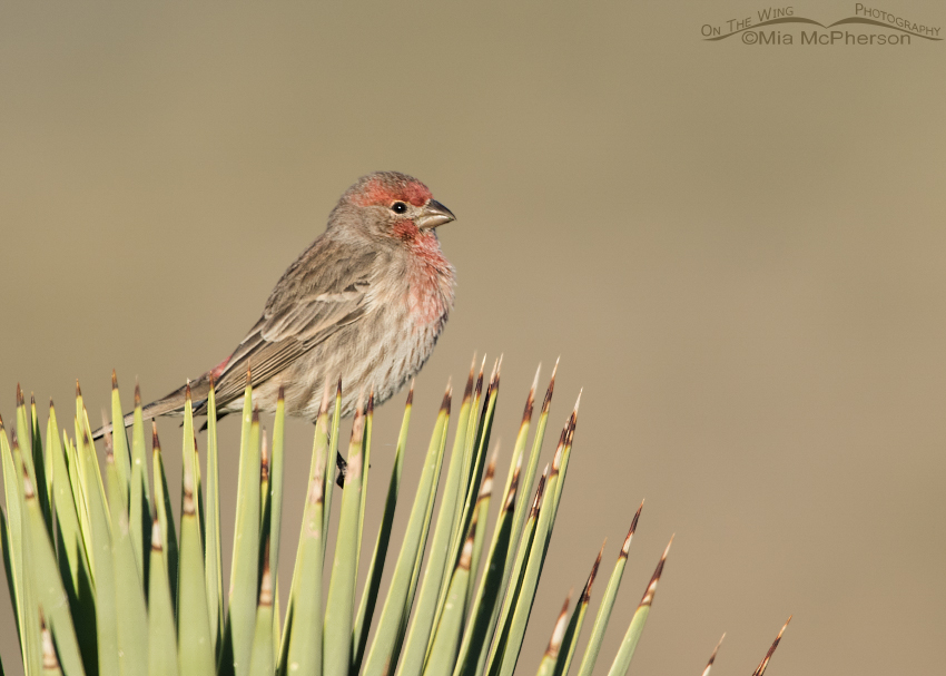 Male House Finch on a Joshua Tree