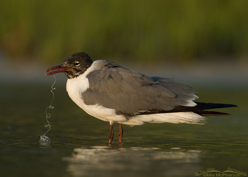 Laughing Gull with fishing line & lure in bill