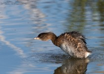 Pied-billed Grebe shaking it off