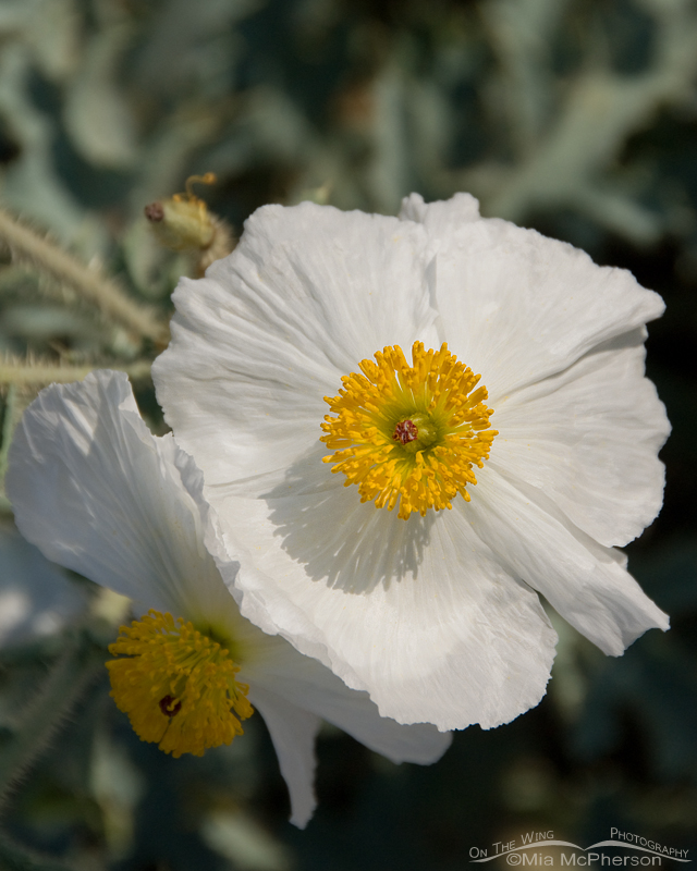 Prickly Poppy close up