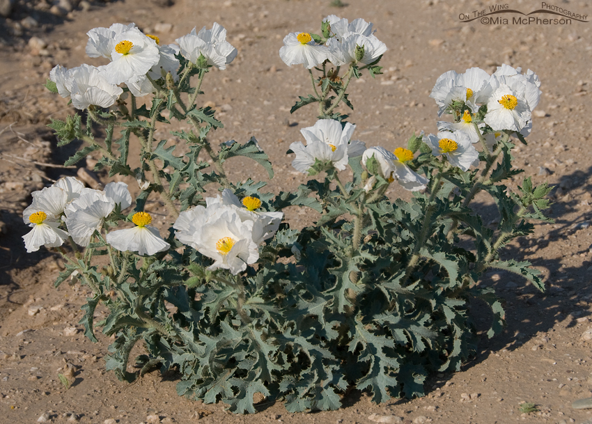 Prickly Poppy plant in bloom