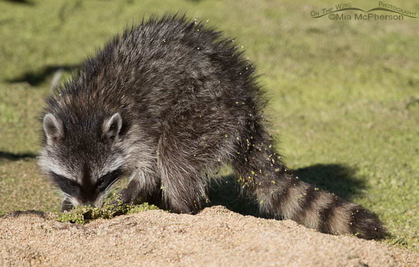 Young Raccoon on a Duckweed mat