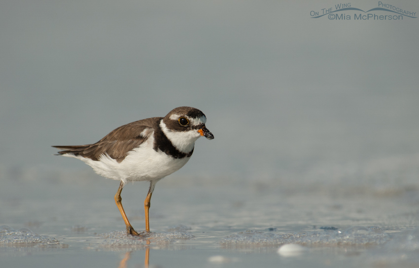 A Semipalmated Plover with its eye on me