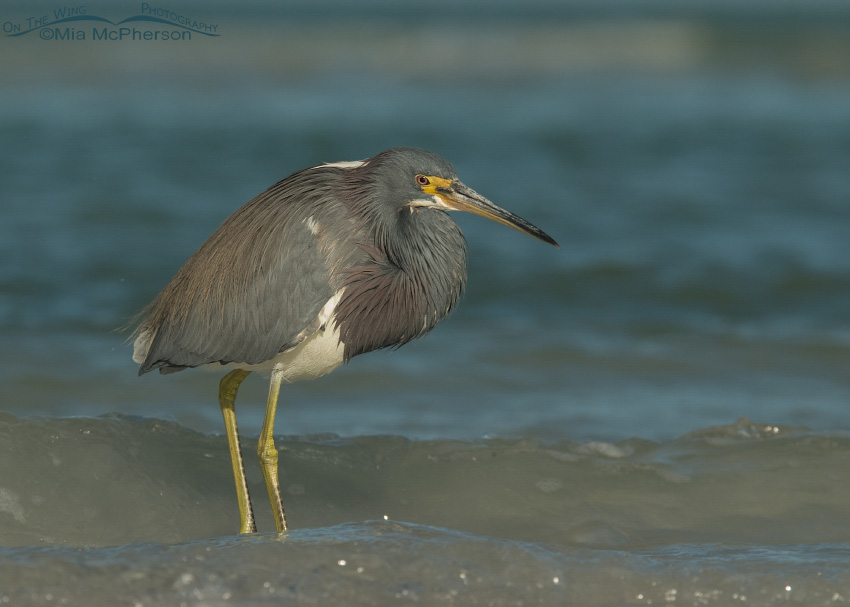 Tricolored Heron in the waves