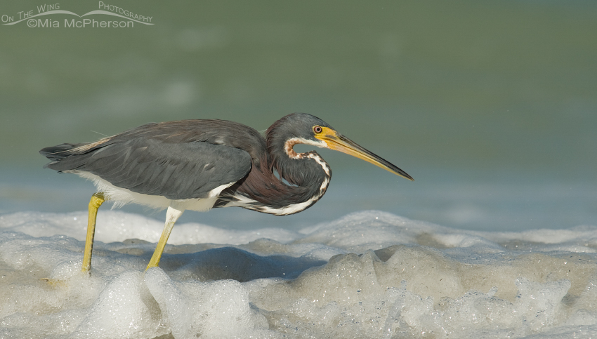 Tricolored Heron hunting the Gulf of Mexico's shoreline