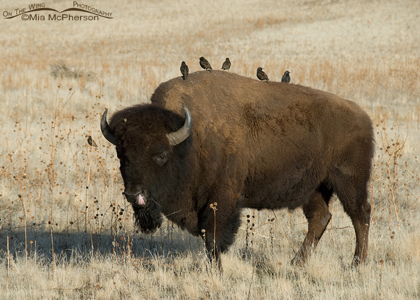 Bison licking its nose with European Starlings on its back