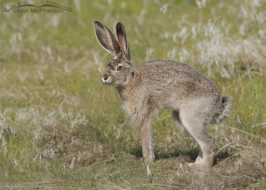 Black-tailed Jackrabbit #2