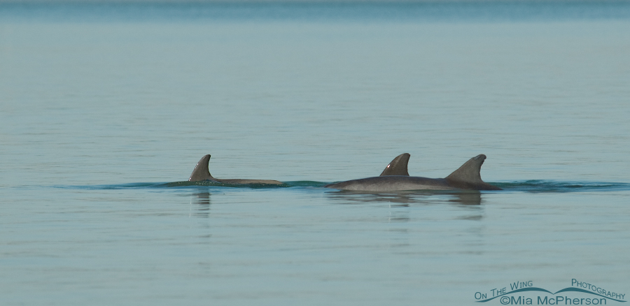 Tri pod of Bottlenose Dolphins
