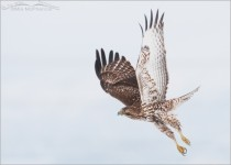 Red-tailed Hawk juvenile in flight in low light