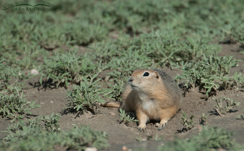 Richardson's Ground Squirrel pano