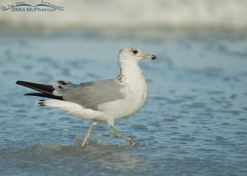 Second Fall Ring-billed Gull