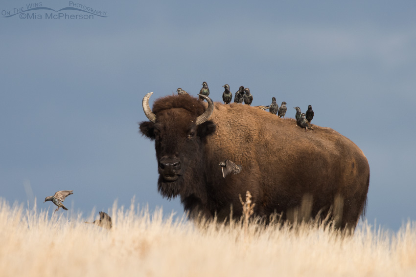 American Bison, European Starlings and a stormy sky background
