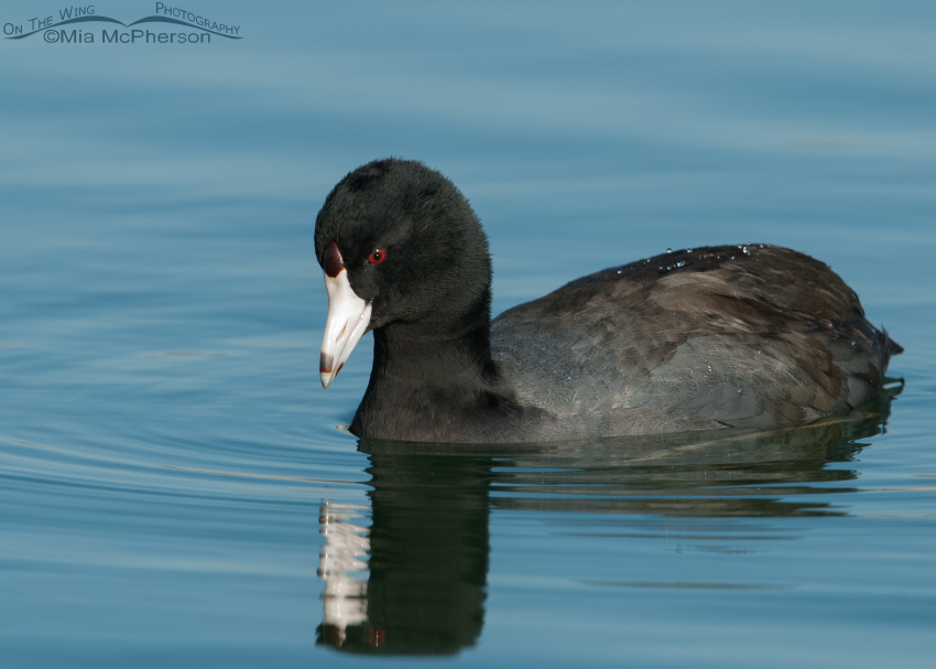 One serious looking Coot