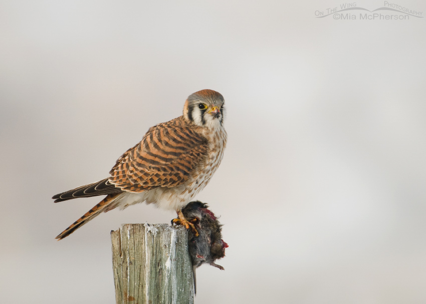 Female Kestrel with prey on a snowy day