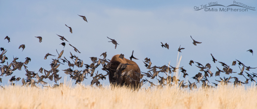 A flock of European Starlings and a Bison bull