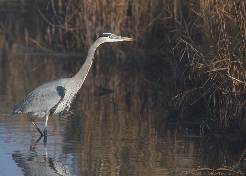 Great Blue Heron stalking prey in morning light