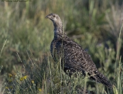 Greater Sage-Grouse in Montana