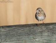 Lincoln's Sparrow on a fence rail