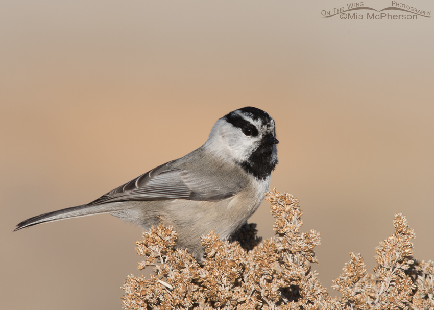 Mountain Chickadee Surprise