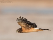 Eye level Northern Harrier