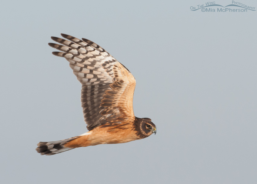 Immature Northern Harrier on the wing