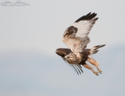 Rough-legged Hawk on a gray day