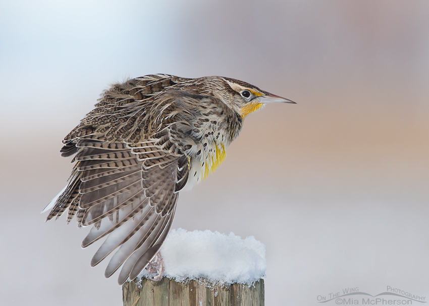 Western Meadowlark stretching on a snow topped post