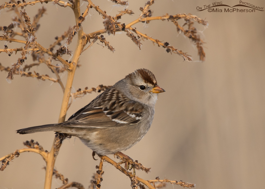 Juvenile White-crowned Sparrow on a December day